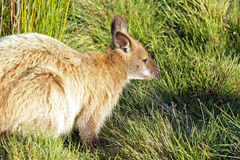 Bennett Wallaby, Australien Stockfotos
