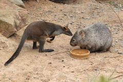 Bennett wallaby and common wombat Royalty Free Stock Images