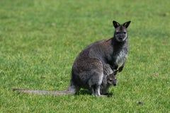 Bennett Wallaby, indigène de la Côte Est de l'Australie et de la Tasmanie, a parfois appelé le wallaby à col rouge photographie stock libre de droits