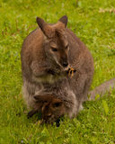 Bennett Wallaby Stock Image