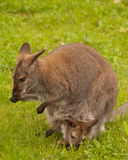 Bennett Wallaby Royalty Free Stock Photos