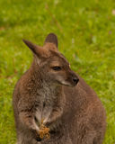 Bennett Wallaby. With a joey on grass Stock Photos