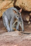 Bennett wallaby Macropus rufogriseus zdjęcia royalty free