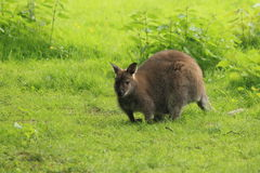 Bennett wallaby Stock Photo