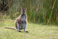 bennettwallaby - Macropus rufogriseus necked wallaby, także, średniej wielkości macropod torbacz, błonie w wschodnim Australia, zdjęcia royalty free