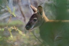 bennettwallaby - Macropus rufogriseus necked wallaby, także, średniej wielkości macropod torbacz, błonie w wschodnim Australia, zdjęcie royalty free