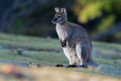 bennettwallaby - Macropus rufogriseus necked wallaby, także, średniej wielkości macropod torbacz, błonie w wschodnim Australia, obrazy royalty free