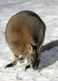 Bennett wallaby na śniegu 2 obrazy royalty free