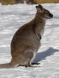 Bennett wallaby na śniegu obrazy royalty free