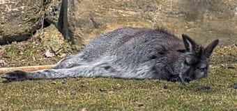 Bennett wallaby na gazonie 5 obraz stock