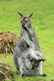 Bennett wallaby with offspring Stock Photo