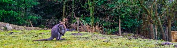 Bennett wallaby pozycja na trawy wzgórzu, portret kangur od Australia fotografia royalty free