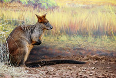 Bennetts wallaby Stock Images