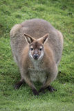 Bennetts wallaby obraz royalty free