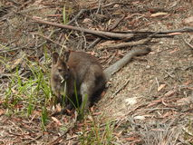 Bennetts wallaby obrazy stock