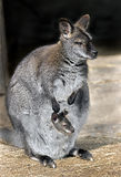 Bennetts wallaby 3 Royalty Free Stock Photography