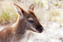 Bennetts Wallaby Tasmania Royalty Free Stock Photography