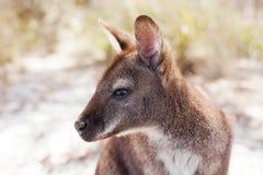 Bennetts Wallaby Tasmania Stock Photo