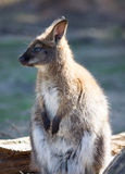 Bennetts Wallaby Royalty Free Stock Photos