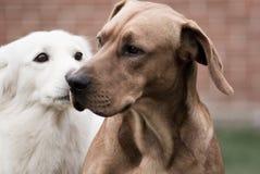 Benny e Budy 2 Foto de Stock