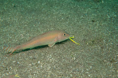 Bensasi goatfish Stock Photography