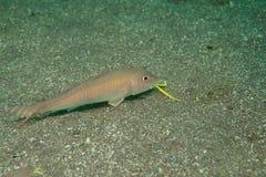 bensasi goatfish Στοκ Φωτογραφία