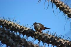 Benschi di Subdesert Mesite Monias nella foresta coperta di spine di Ifaty, Madagascar Immagini Stock