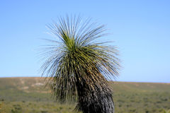 Bent Australian Grass Tree Stock Photo
