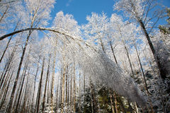 Bent Birch tree snow wrapped. And another birch trees in background against blue sky Royalty Free Stock Image