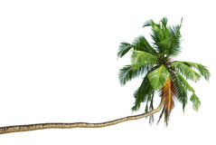 The bent coconut tree Royalty Free Stock Images