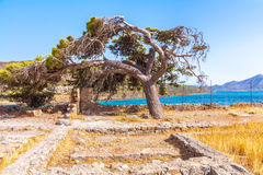 Bent down pine tree. On Spinalonga, - the last leprosorium Stock Photo