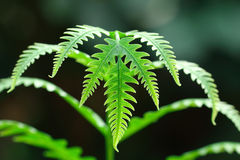Bent fern leaf for pattern Royalty Free Stock Images
