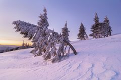 Bent fir tree in the mountain in winter time. Photo taken at dawn during magenta hour Stock Photography
