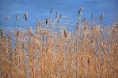 Bent-grass Foto de archivo libre de regalías