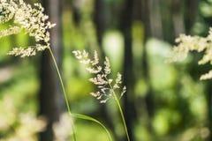 Bent grass Stock Image