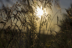 Bent grass in the morning sun Royalty Free Stock Photos