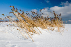 Bent grass on the seaside. Bent grass on the snovy seaside Royalty Free Stock Photo