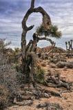 Bent Joshua Tree i öknen Arkivfoto