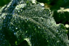 Bent leaf of poppy (Papaver Somniferum) with melted frost cover Royalty Free Stock Image