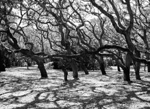 Bent Oaks. Live oak trees all bent in the same direction at a park in Florida. A rare sight stock photos
