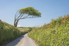 Bent old tree. An old tree grows bend by the prevailing winds by a country lane in Devon England Royalty Free Stock Image