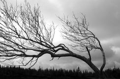 Bent out of shape. A tree in an open field grows sideways due to wind exposure Royalty Free Stock Photography