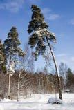 The bent pine. Winter landscape in park Monrepo in Vyborg Stock Image