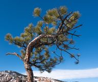 Pine tree growing bent from the wind in front of blue sky stock image