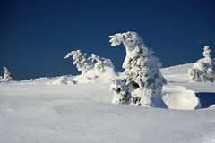Bent snowy tree in Krkonoše mountains, Czech republic. Bent snowy spruce in Krkonoše mountains, Czech republic Royalty Free Stock Photography