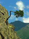 The bent  tree. The bent tree growing at edge of a rock Royalty Free Stock Photography