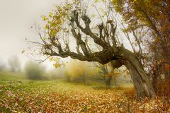 The bent tree autumn. The bent tree in Valcan Mountains, autumn Royalty Free Stock Photography