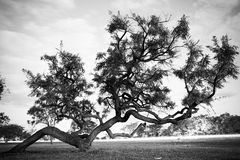 Bent tree. Black and white image of a bent tree in Brasilia, Brazil Stock Image