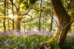 Bent tree in bluebell forest Royalty Free Stock Image