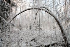 Bent Tree in de Winter Royalty-vrije Stock Afbeelding